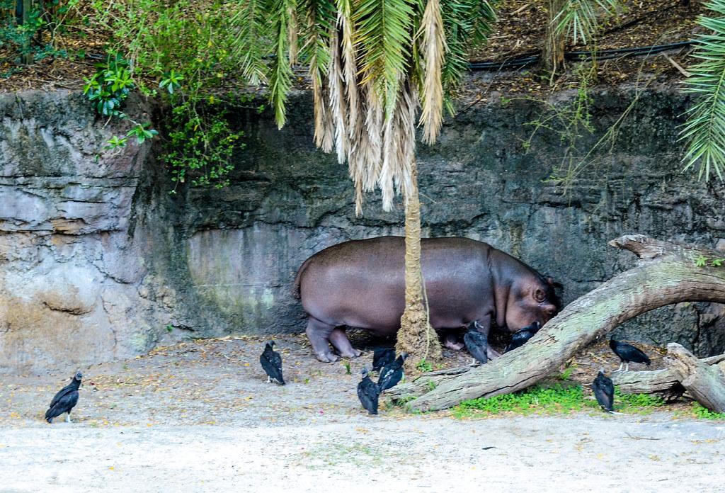 Hippo tree safari AK