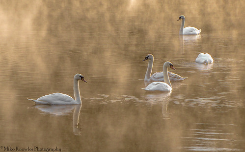 sudburyhall sudbury sunrise swans mikeknowles mist canon canon650d nationaltrust