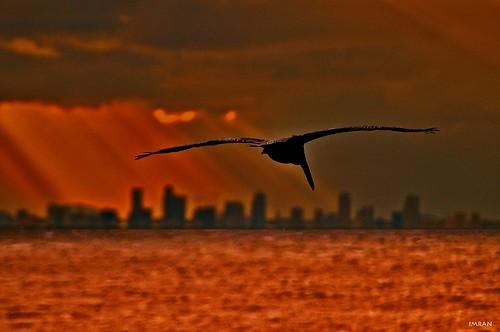 apollobeach bird clouds d300 dusk florida imran imrananwar nikon pelican prose reflections saintpetersburg silhouette sunbeam sunset surreal tampabay water waves
