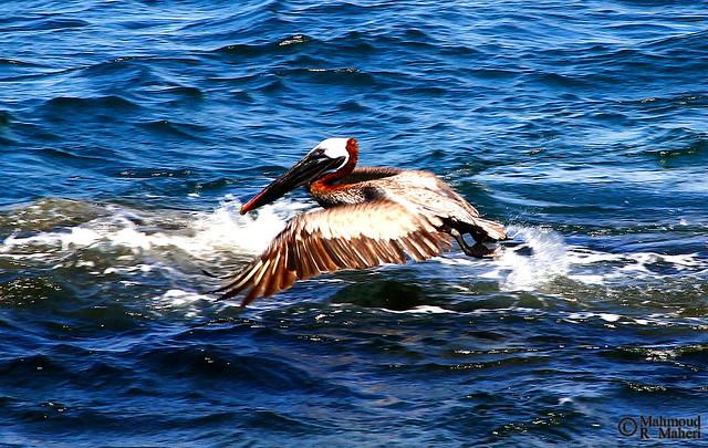Galapagos Brown Pelican (Pelecanus occidentalis urinator) (2)