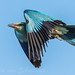 European Roller in flight by Willievs