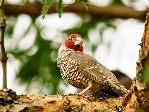 Red-headed Finch (Amadina erythrocephala) | by David Cook Wildlife Photography