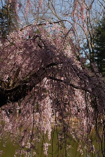 Higan Cherry  彼岸桜 | by lulun & kame