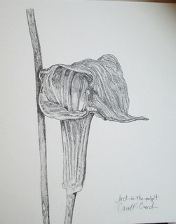 Jack-in-the-pulpit study, graphite.