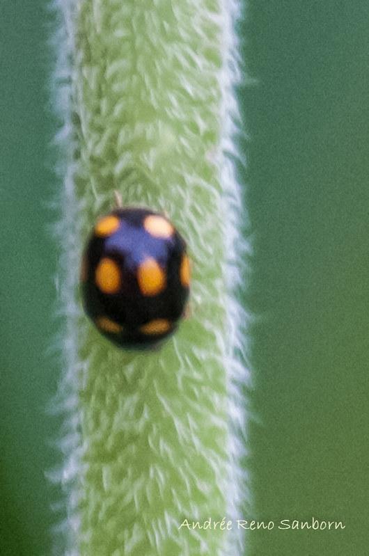 Orange-spotted Lady Beetle (Brachiacantha ursina)