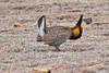 036017-IMG_6050 Greater Prairie Chicken (Tympanuchus cupido) by ajmatthehiddenhouse