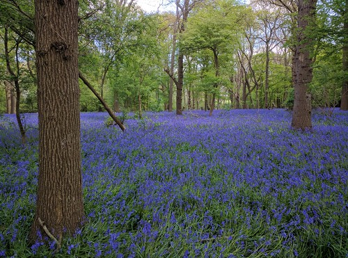 bluebell wood bluebells arlington sussex decidious blue carpet sweep landscape view trees