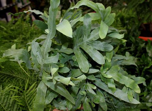 Identification plante - Phlebodium aureum Davana [Identification] 34220937342_47de372ed0