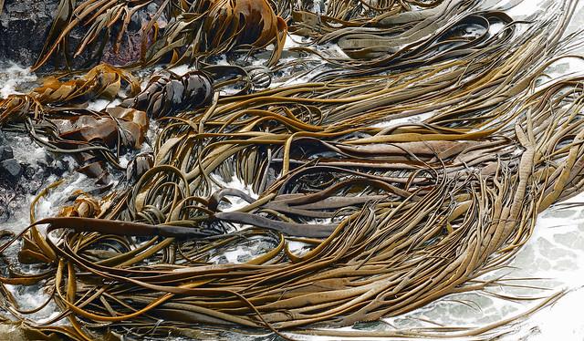Bull kelp.(Nereocystis luetkeana)