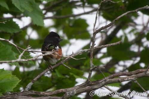 canada bird wildlife birding québec ornithology birdwatching oiseau faune easterntowhee godmanchester ornithologie tohiàflancsroux
