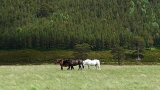 Horses in Glen Feshie   by Nick Bramhall