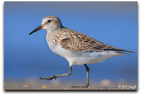 White-rumped Sandpiper | by BN Singh