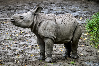 Greater One Horned Rhino Calf | by Steve Wilson - over 10 million views Thanks !!