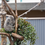Sleepy Koala Bear, San Diego Zoo