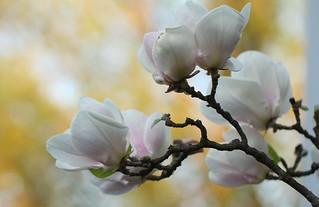 Magnolia I._6279