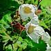 Flickr photo 'J20170428-0015—Rubus parviflorus—RPBG—DxO' by: John Rusk.