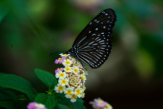 Butterfly | by rabbit_akra