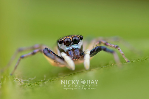 Jumping Spider (Chrysilla sp.) - DSC_2750   by nickybay