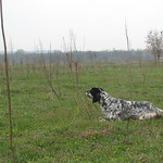 EDY DI VALTRESINARO - In ferma su coppia di starne, in terreno privo di vegetazione.