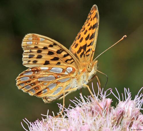 butterfly jersey queenofspainfritillary issorialathonia