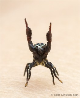 Belize ant-mimic jumping spider 3