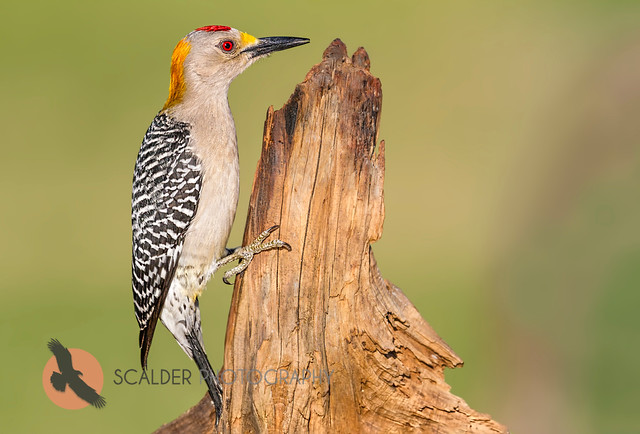 Golden-Fronted Woodpecker on dead stump