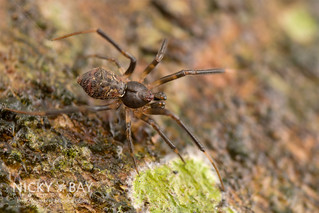 Comb-footed spider (Episinus sp.) - DSC_8145