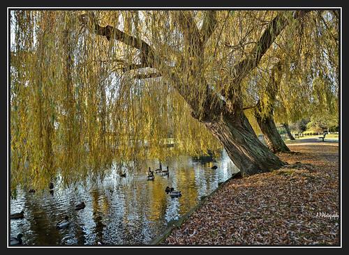 nikond7000 nikon18200lens beddingtonparksurrey weepingwillows golden trees park nature sunlight