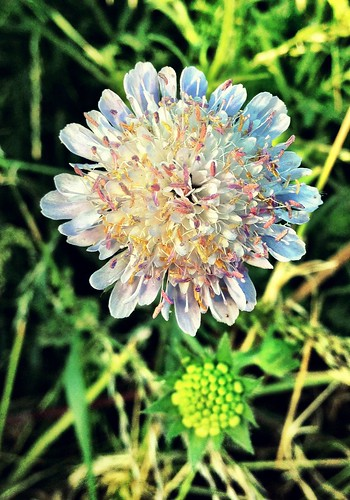 Field Scabious full | by William Parsons Pilgrim