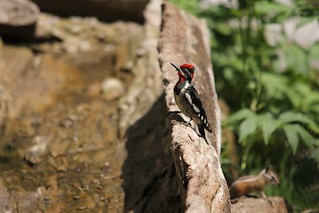 Red-naped Sapsucker | by Birding In New Jersey