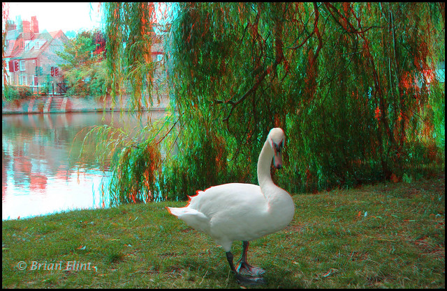 Mute Swan - 3d anaglyph