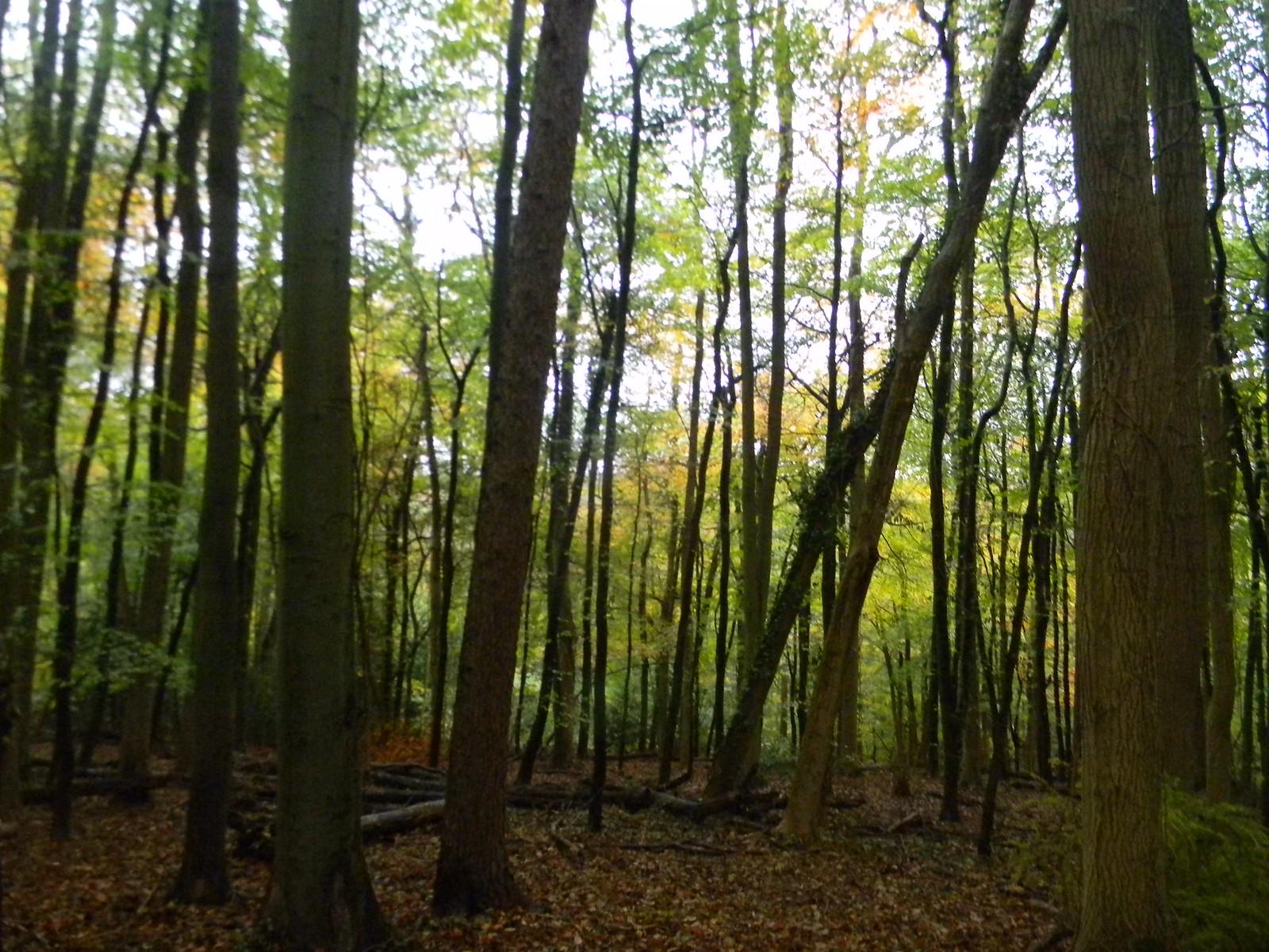 In the woods Chorleywood to Chesham