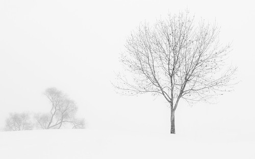 Trees in a Winter Storm
