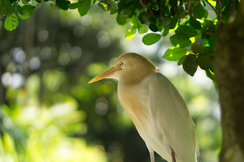 Cattle Egret   by Just_hobby