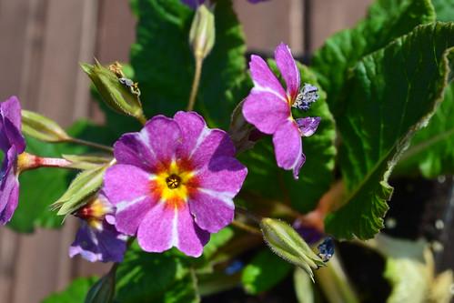 Primula vulgaris 'Avondale' | by Avondale Nursery