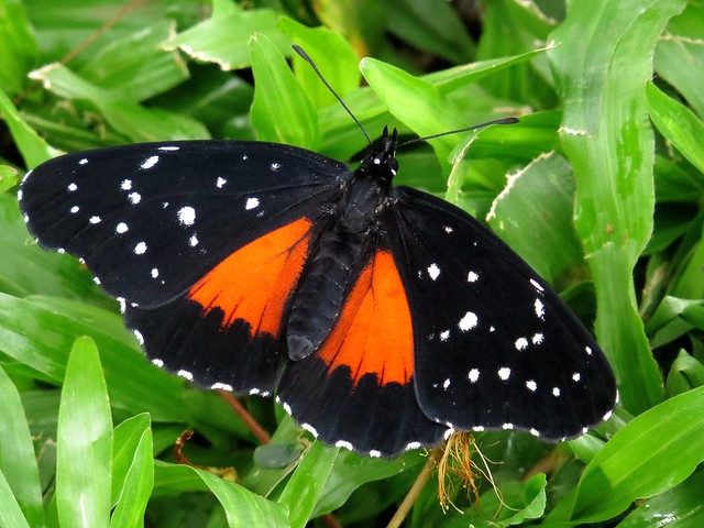 What's black and white and red-orange all over? Crimson patch (Chlosyne janais) butterfly, San José, Costa Rica, Nov 2016