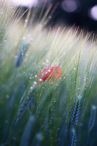 pentax k5 spring 2016 green countryside lazio italy colors field perspective outdoor depthoffield plant smcpentaxm50mmf17 grass poppy bokeh evening droplets wheat landscape stefanorugolo