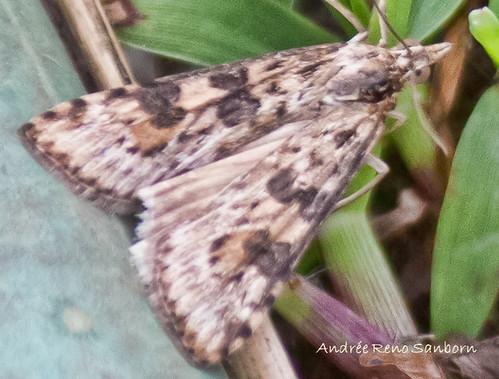 Lucerne Moth (Nomophila nearctica)