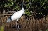 Australian White Ibis by R. Francis