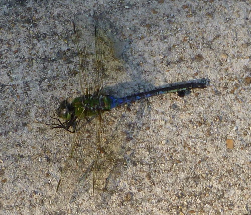 dragonfly birding missouri anaxjunius otterslough
