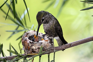 Anna's Hummingbird feeding a baby. | by Alexandra Rudge. Peace & love!