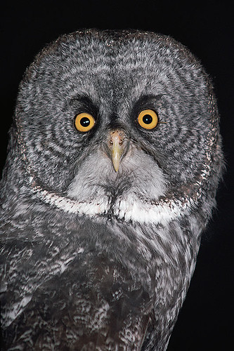 Wildlife in British Columbia, Canada: Great Grey Owl / Great Gray Owl