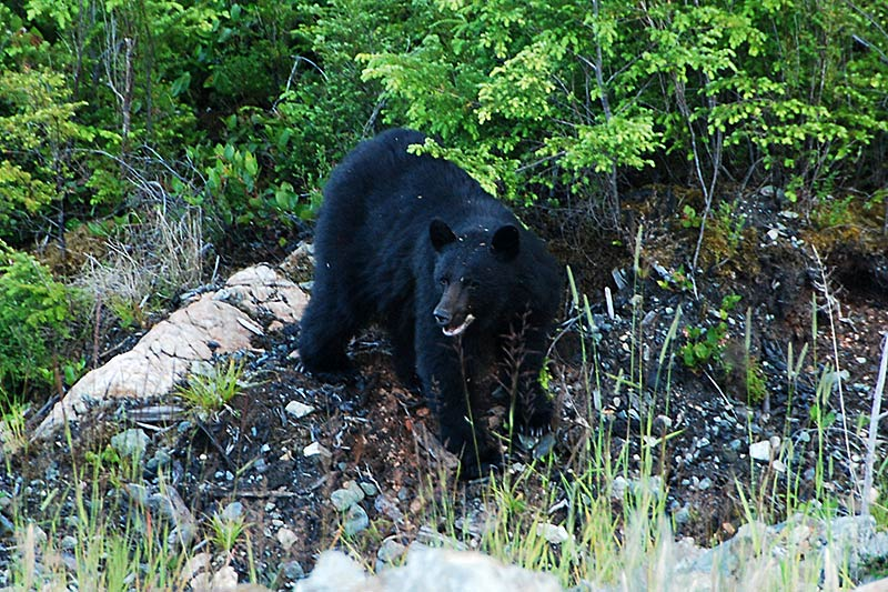 Black Bear in Tahsis, North Vancouver Island, British Columbia, Canada