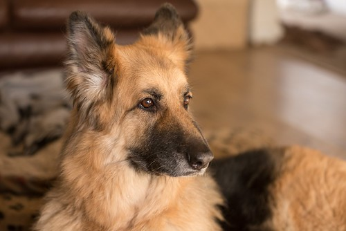 angel - german shepherd | by GRVO TV