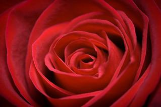 Unha rosa para Rosalía | by Dani_vr