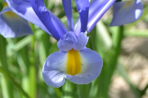 Iris d'ici et d'ailleurs - des espèces 32847648391_9ac0870c99