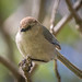 Bushtit - Photo (c) Becky Matsubara, some rights reserved (CC BY)