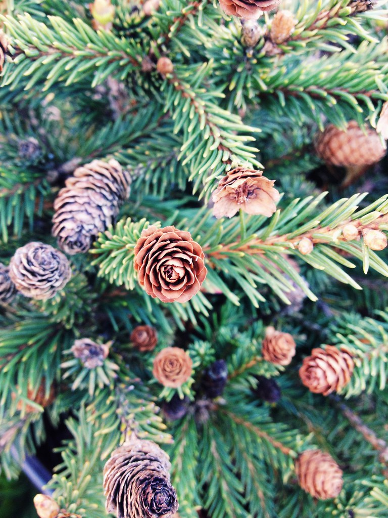 Pusch Norway Spruce Picea Abies Pusch This Cultivar Or Flickr