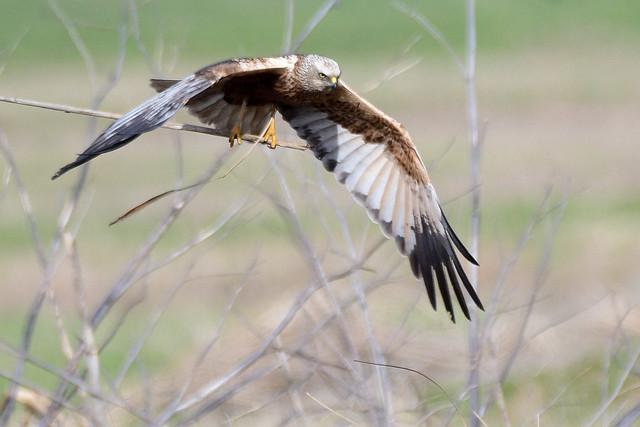 Marsh Harrier.