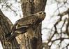 Tawny Eagle. by Vikas.B.Chavan